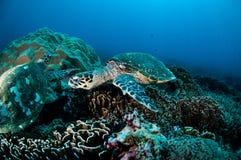 Karettschildkröteschwimmen um die Korallenriffe in Gili, Lombok, Nusa Tenggara Barat, Indonesien-Unterwasserfoto Stockbild