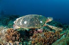 Karettschildkröteschwimmen um die Korallenriffe in Gili, Lombok, Nusa Tenggara Barat, Indonesien-Unterwasserfoto Lizenzfreie Stockbilder