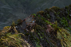 Karibische Krabbe Stockbild
