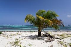 Karibische Palme mit Kokosnüssen Stockfoto