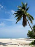Karibische Palme mit Kokosnüssen Stockfotografie