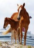 Karibische Pferde Stockfoto