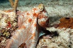 Karibische Riff-Krake Lizenzfreies Stockfoto