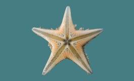 Karibische Starfish auf einem farbigen Hintergrund Lizenzfreie Stockfotos