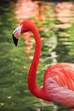 Karibischer Flamingo Stockfotos