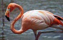 Karibischer Flamingo stockbild