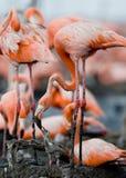Karibischer Flamingo auf einem Nest mit Küken kuba Stockfotos
