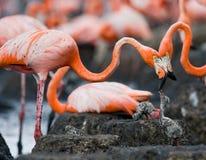 Karibischer Flamingo auf einem Nest mit Küken kuba Lizenzfreies Stockbild