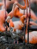 Karibischer Flamingo auf einem Nest mit Küken kuba Lizenzfreie Stockfotografie