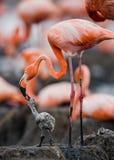 Karibischer Flamingo auf einem Nest mit Küken kuba Lizenzfreie Stockbilder