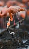 Karibischer Flamingo auf einem Nest mit Küken kuba Stockfoto