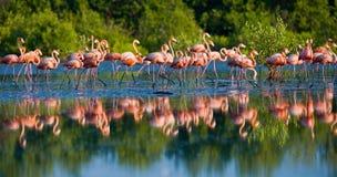 Karibischer Flamingo, der im Wasser mit Reflexion steht Lizenzfreies Stockbild