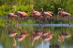 Karibischer Flamingo, der im Wasser mit Reflexion steht kuba Stockfotos