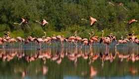 Karibischer Flamingo, der im Wasser mit Reflexion steht kuba Stockfotografie