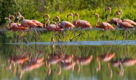 Karibischer Flamingo, der im Wasser mit Reflexion steht kuba Lizenzfreies Stockfoto