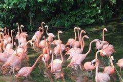 Karibischer Flamingo, der im Wasser mit Reflexion steht singapur Eine ausgezeichnete Illustration Stockfotos