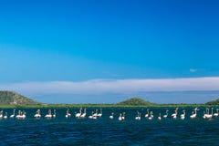 Karibischer Flamingo, der im Wasser steht Lizenzfreies Stockbild