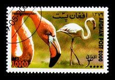 Karibischer Flamingo (Phoenicopterus-ruber), internationaler Stempel E Lizenzfreie Stockfotos
