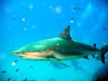 Karibischer Riff-Haifisch Lizenzfreie Stockbilder