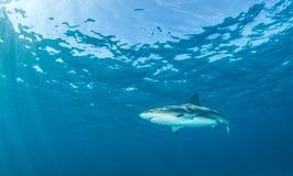 Karibischer Riff-Haifisch Lizenzfreies Stockfoto