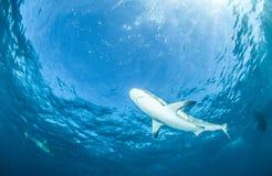 Karibischer Riff-Haifisch Stockfotografie