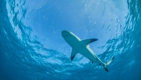 Karibischer Riff-Haifisch Stockfotos