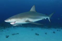 Karibischer Riff-Haifisch lizenzfreies stockbild