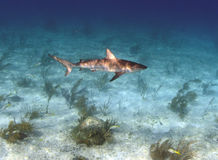 Karibischer Riffhaifisch lizenzfreies stockbild