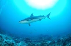 Karibischer Rifhaifisch lizenzfreies stockbild