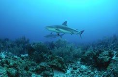 Karibischer Rifhaifisch lizenzfreies stockfoto