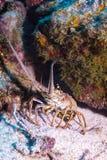 Karibischer stacheliger Hummer Stockbilder