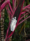 Karibischer weißer Frosch lizenzfreies stockfoto