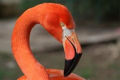 Karibisches Flamingoportrait Stockfotografie