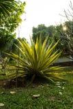 Karibisk Agaveväxt, garneringträd i trädgården på den lokala semesterorten i bygden av Thailand, på Phu Ruea Loei royaltyfri fotografi