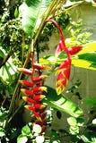 karibisk blomma Arkivfoton