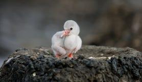 Karibisk flamingo för liten fågelunge cuba Royaltyfri Bild