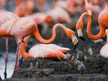 Karibisk flamingo på ett rede med fågelungar cuba Arkivbild