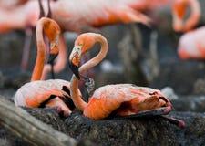 Karibisk flamingo på ett rede med fågelungar cuba Arkivfoton