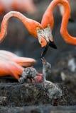 Karibisk flamingo på ett rede med fågelungar cuba Arkivfoto