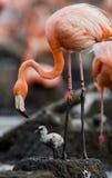 Karibisk flamingo på ett rede med fågelungar cuba Royaltyfri Fotografi