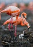 Karibisk flamingo på ett rede med fågelungar cuba Arkivbilder