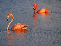 Karibisk flamingodomstol på Gotomeeren, Bonaire, holländare Antillerna arkivfoton