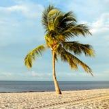 karibisk kokosnötcuba palmträd Arkivbild