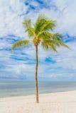 karibisk kokosnötcuba palmträd Fotografering för Bildbyråer