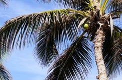 karibisk kokosnötcuba palmträd Royaltyfri Bild