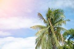 karibisk kokosnötcuba palmträd Arkivfoton