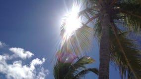 karibisk kokosnötcuba palmträd stock video