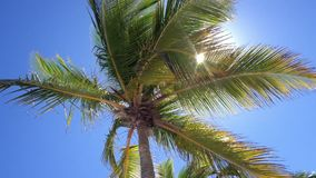 karibisk kokosnötcuba palmträd lager videofilmer