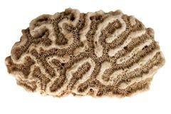 karibisk korall för hjärna royaltyfri foto