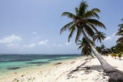 karibisk palmträd Arkivbild